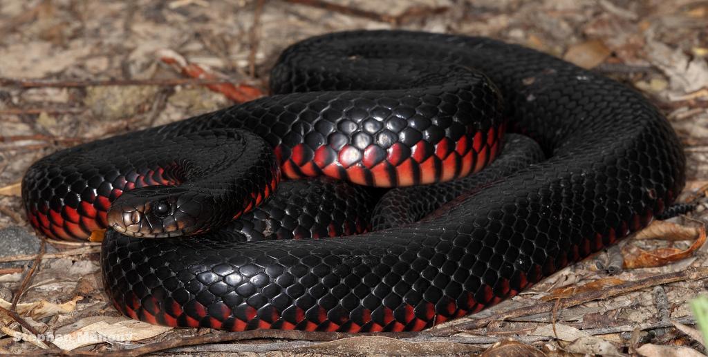 Red Bellied Black Snake via Stephen Mahony