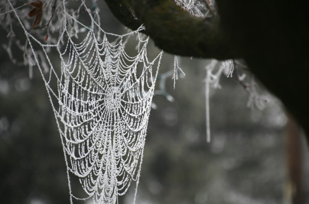 Frost crystalizes on a spider web dangling from an ornamental tree Friday, Nov. 29, 2013, in Prosser via Ross Courtney